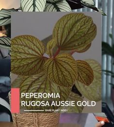 Peperomia Rare Plants