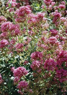 Also known as red valerian for its rosy pink flowers, Jupiter's beard is one of the longest-blooming perennials