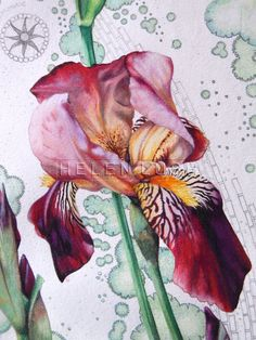 Original watercolour painting of lilac and maroon Bearded Iris flowers. Botanical art.