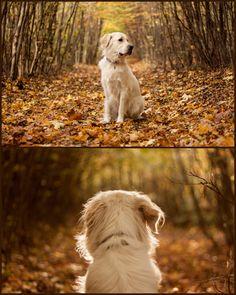 golden retriever - photo by Krisztina Máté #dog #goldenretriever #photography #animal #petphotography #fall #autumn #forest #leaves