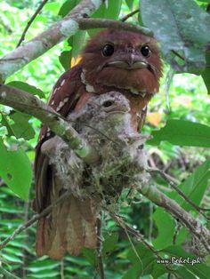 Philippine Frogmouth(Batrachostomus septimus)