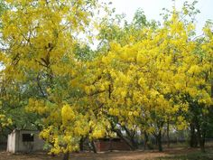 Indian laburnum...the streets of Delhi are about to burst with these lovelies! Known here as 'amaltas'....here's a tree truly made for the Indian Summer....blooming beautifully at the peak of Delhi's gruelling summer heat...and I just discovered they are native to the Sub-continent....can't wait to see the burst...