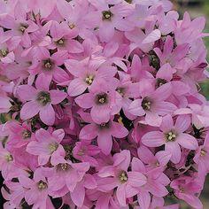 Campanula lactiflora 'Dwarf Pink' (Large Plant) - Perennial & Biennial Plants - Thompson & Morgan