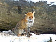 Jemina Staalon matkaploki: Kettu katsoo.. Fox
