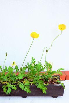 黄色のポピー、ながーく伸びて咲きました