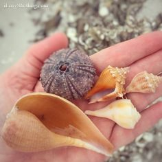 Sanibel Paper fig, sea urchin and conchs
