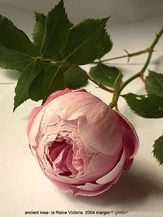 Reine Victoria - Bourbon - Also called the Shell Rose. She is pink while her famous sport, Mme. Pierre Oger, is pink and white blended.