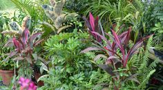 Hawaiin Ti plant (purple) and Schefflera Green Lava plant (middle) Tropical Backyard, Tropical Gardens, Ti Plant, Container Gardening, Hawaii, Sweet Home, Home And Garden, Middle, Florida