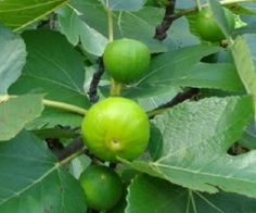 Lattarulla Fig Tree