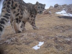 Great site for Snow Leopard Facts-perfect for our circle map
