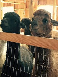 Blog Shearing Part 2: Please Don't Rain –We're Shearing Today! *Midgey Lou & Lori Lou wait for their turns