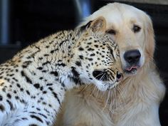 I adore this image !!! the face of the lab.is pure love...