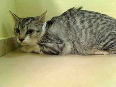 BABY KILLED BY ACC - SHAME ACC - ANAIRIS - #A1042306 - - Manhattan *** TO BE DESTROYED 07/08/15 *** FEMALE GRAY TABBY AND WHITE DOMESTIC SH MIX, 8 Mos - OWNER SUR ON 07/01/15 - ANAIRIS, ARTEMIS, APEX and ARTIE came in with a group of 11 cats total….PERS PROB