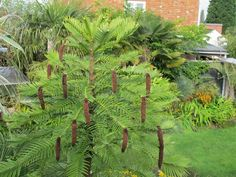 Young Wollemi pine