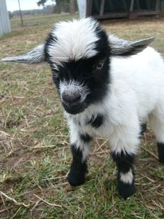 I love baby goats. Mini Goats, Cute Goats, Baby Goats, Cute Baby Animals, Farm Animals, Animals And Pets, Dwarf Goats, Goat Farming, Cute Animal Pictures