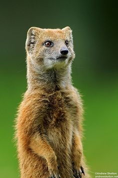 Funny Wildlife, Yellow Mongoose!! by Andrew Skelton Photography