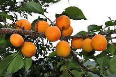 DWARF APRICOT *12-18 INCH  FLOWERING FRUIT TREES ** live plants