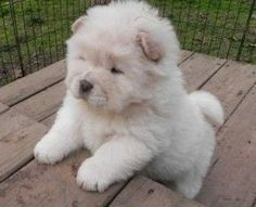 chow chow puppies for sale northern ireland - Perros chow chow - Chow Chow Blanco, White Chow Chow, White Puppies, Baby Puppies, Dogs And Puppies, Doggies, Perros Chow Chow, Chow Chow Dogs, Puppy Chow