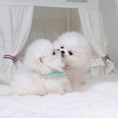Pomeranian – SAM and MIKE
