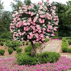 Hydrangea Tree 'Pink Sensation' @ its-a-green-life
