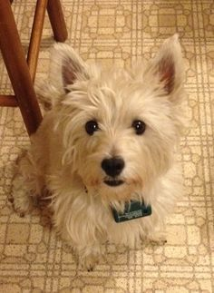 Donna is a loving cuddly West Highland White Terrier who came to us when she was 2 years old.