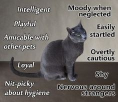 Russian Blue Cats Kittens Russian Blue Cat Personality - Russian Blue cats are one of the most elegant and distinguished cats. This article will help you learn all about the Russian Blue cat's personality, and help you understand this feline better. Russian Blue Cat Personality, Benny And Joon, Russian Blue Kitten, The Blues Brothers, Grey Cats, Cat Facts, Crazy Cat Lady, Beautiful Cats, Cat Breeds