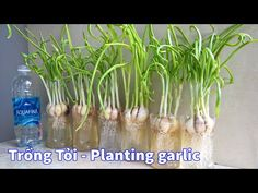Trồng tỏi - bí quyết của người làm vườn | trồng rau nông dân phố sáng tạo Planting Garlic, Bonsai Art, Creative, Plants, Handmade, Youtube, Garten, Ideas, Hand Made