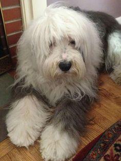 Izzy the Old English Sheepdog