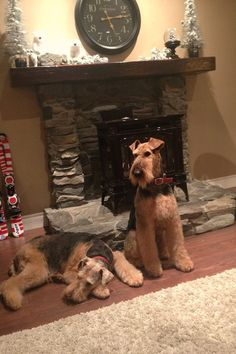 Cozy night Highland Airedales BC Canada