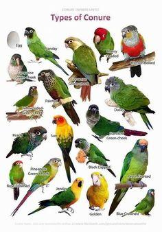 Types of Conure parrot bird All Birds, Cute Birds, Pretty Birds, Beautiful Birds, Types Of Pet Birds, Parrot Pet, Parrot Toys, Parrot Rescue, Parrot Bird