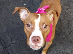 SAFE 8-12-2015 --- RETURNED 08/08/15 NO TIME --- SAFE 6-7-2015 --- Manhattan Center SOURDOUGH – A1037599 FEMALE, BROWN / WHITE, AM PIT BULL TER MIX, 1 yr STRAY – STRAY WAIT, NO HOLD Reason STRAY Intake condition EXAM REQ Intake Date 05/26/2015