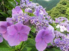 hydrangea in Hakone (June 29th, 2013)