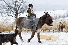 Adorable Little boy riding a donkey in country side Romania Mini Donkey, The Donkey, Romanian Girls, Horse Gear, Beautiful Places To Visit, Zebras, Countries Of The World, People Around The World, Beautiful Horses