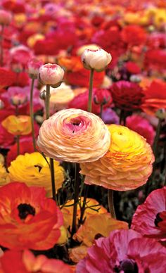 Ranunculus - you are radiant with charms