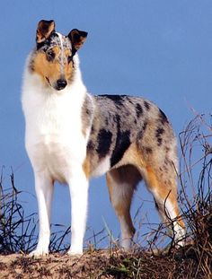 Smooth collie.