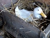 Nesting boxes should only be large enough for one female duck. Line them with soft material such as straw, hay or pine shavings. If the female duck isn't comfortable, she may look elsewhere for a place to nest.