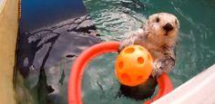 Cute Otter Shoots Hoops!http://www.youtube.com/watch?v=pGbGSnvZqek