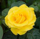 Rosa Golden Wedding ('Arokris') (PBR)