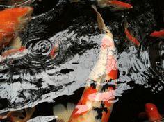 Koi fish #koi #koifish #koipond