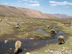 Alpakas and llamas on high andean graslands.