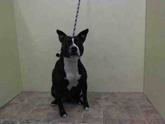 TO BE DESTROYED 10/24/14 Manhattan Center -P My name is IVY. My Animal ID # is A1018252. I am a female black and white staffordshire mix. The shelter thinks I am about 4 YEARS old. For more information on adopting from the NYC AC&C, or to find a rescue to assist, please read the following: http://urgentpetsondeathrow.org/must-read/