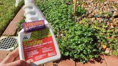 I've been having some great success with Slasher Organic Weedkiller by @ecoorganicgarden. To be honest, I expected it to be rubbish when I first used it a couple of months ago, but it has really surprised me!  ➖ It's very rapid acting! By the time when finished the whole job today, the weeds were basically dead ☠️. ➖ It doesn't contain glyphosate and is Registered Organic. ➖ for more tips, check out our instagram page or visit our website.