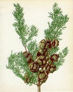 Vintage Tree Print, Italian Cypress,   26 x 20 cm or 10.25 x 8 inches