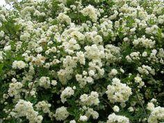 モッコウバラはつるバラと育て方が違う!肥料や剪定誘引など | つるバラと宿根草の小さな庭づくり