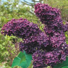 Lilac's are inexpensive, fast-growing and very hardy.