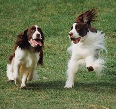 English Springer Spaniels, OK ours is Black & white, Pistol Pete, but this energy is ever present! One of my favorite breeds the other is Lab. Spaniel Breeds, Spaniel Puppies, Cocker Spaniel, Dogs And Puppies, Doggies, Chien Springer, English Springer Spaniel, Beautiful Dogs, Mans Best Friend