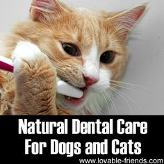 Brush Fluffy's teeth: Dampen a tooth brush with a little warm water; dip the brush in baking soda (just a tiny bit). Don't load the brush with soda; gently brush your cat's  teeth. Baking soda is abrasive so do not apply pressure when brushing. If the teeth get full of tartar, the gums get sore and they can't eat; may drool a lot. Vet can clean their teeth every year, but $$. www.lovable-friends.com