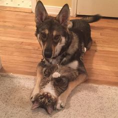 This Husky Picked Out Her Own Kitten To Take Home From Shelter