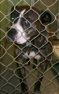 ***SUPER SUPER URGENT!!!*** - PLEASE SAVE LARRY!! - EU DATE: 8/5/2015 -- Larry Breed:Pit Bull Terrier Age: Adult Gender: Male Size: Large Shelter Information: Amelia County Animal Shelter 16565 Five Forks Road  Amelia, VA Shelter dog ID: Larry Contacts: Phone: 804 561-3878 Name: Cindy Case email: ameliaanimalshelter@yahoo.com About Larry: LARRY - PB - male - 2 yoa - 55 lbs. Impound date - 7/2/15 Release date - 7/2/15 Good boy! He is good with other dogs.  Read more at…