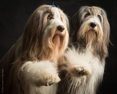 Bearded Collie Dog Photography Bearded Collie, Collie Dog, Dog Photography, Dog Portraits, Dogs, Animals, Animales, Animaux, Pet Dogs